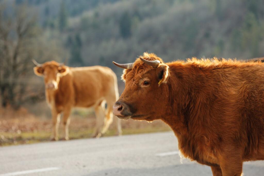 Αγελάδες_Ζαγόρι_zvoura.gr
